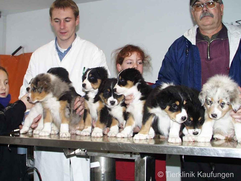 Erfolg durch Fortpflanzungsmedizin. Hundewelpen in der Tierklinik Kaufungen.
